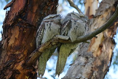 Tawny Frogmouth (Podargus strigoides) (johnedmond) Tags: perth westernaustralia herdsmanlake tawny frogmouth bird nature wildlife nightjar sel55210 55210mm ilce3500 sony