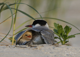 Sweet baby tern protected by parent