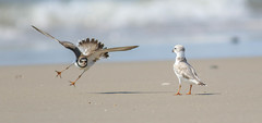 Plover Fight (Explored) (Tommy Quarles) Tags: semipalmated piping plover chincoteague nwr virginia va camp avocet 2017 canon 7d mark ii