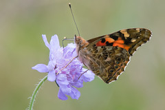 """The same old Painted Lady"" (Tim Melling) Tags: cynthia vanessa cardui painted lady butterfly field scabious knautia arvensis south yorkshire timmelling"