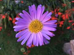 A Michaelmas Beauty (amanda.parker377) Tags: autumn summer perennials gardenflowers aster michaelmasdaisy