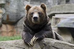 Teddy bear ears (ucumari photography) Tags: ucumariphotography yeponi ursusarctos grizzly bronw bear animal mammal nc north carolina zoo august 2017 dsc2254 specanimal specanimalphotooftheday specanimaliconofthemonth