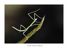 Phasme Pijnackeria masettii (Pascale Ménétrier Delalandre) Tags: phasmepijnackeriamasettii insecte phasmoptères faune gard france canoneos70d canonef100mmf28lmacroisusm pascaleménétrierdelalandre ngg