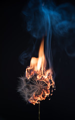 Consume (Lightcrafter Artistry) Tags: dandelion fire burn consume ignite macro