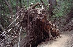 Tree Cave (egrojd) Tags: portra400 portra kodakportra kodak canon1n muirwoods nationalparks redwoods film 35mm