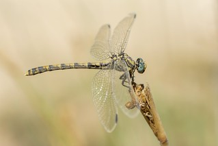 Large pincertail was muddy after oviposition !!!