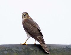 Sparrowhawk. (marj.p. (Catching up!!)) Tags: bird sparrowhawk hunter aves birdwatching accipternisus birdofprey fujifilmfinepixhs50 naturephotography agilehunter telford telfordgarden shropshire shropshiregarden