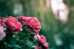 Sony a7 50mm (Jasrmcf) Tags: ilce7 sel50f18f sony sonya7 sony50mm sonyalpha macro macros macrotube smooth blur bokeh bokehlicious bokehgraph dof delicate detail depthoffield green beautiful pink garden nature ngc vintage petals 50mm