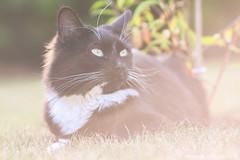 Marty (Alexandre D_) Tags: canon eos 70d cat cats chat gato cute portrait bokeh bokehlicious bokehballs animal animals worldofanimals world france nord pasdecalais hautsdefrance billymontigny eyes wideopen fluffy flare yongnuo yn100 yongnuo100mmf2 100mm 100mmf2