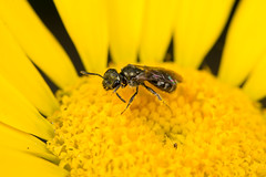 Solitary Bee (Lasioglossum cf morio) (The LakeSide) Tags: insect macro closeup nikon r1c1 d7100 lasioglossum bee
