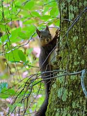 Je t'ai vu ! (jean-daniel david) Tags: écureuil nature animal arbre forêt feuillage vert