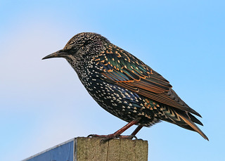 Starling WNTS 14th Sept 2017