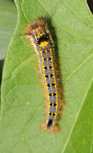 very young drinker moth caterpillar