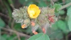 DSC05349a (alfredoeloisa) Tags: plantas plantasterrestres plantasvasculares traqueofitas angiospermas plantae tracheophyta tracheobionta magnoliopsida