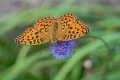 macro du jour - Argynnis paphia (oudjat45) Tags: argynnispaphia macro fleur bokeh bleuet flower nature blumen