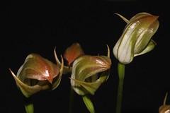 Pterostylis curta (andreas lambrianides) Tags: pterostyliscurta orchidaceae bluntgreenhood orchids australianflora australiannativeplants australiannativeorchids australianorchids
