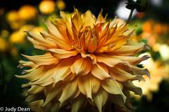 Gorgeousness! (judy dean) Tags: judydean 2017 orange petals naturethroughthelens
