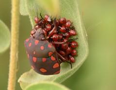Pachycoris torridus (Scopoli, 1772) (robertoguerra10) Tags: scutelleridae percevejo hemiptera red pachycoris torridus america do sul south brazil brasil vermelho preto dark brown nikon d7000