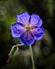 Open Star (MrBlueSky*) Tags: flower plant petal garden nature horticulture outdoor colour kewgardens royalbotanicgardens london aficionados pentax pentaxart pentaxlife pentaxk1 pentaxawards pentaxflickraward