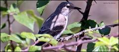 IMG_5474-crop (ryancarter2012) Tags: spotted flycatcher cala galdana menorca