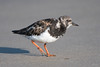 Turnstone (Shane Jones) Tags: turnstone bird seabird wader nature wildlife nikon d500 200400vr tc14eii