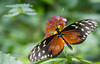 Heliconius hecale (michel lherm) Tags: ailes wings animalia mariposa flower lepidoptera marron noir fleur butterfly rhopalocères animals costarica jaune animaux heliconiidae papillonsexotiques nature insecto heliconiushecale fly flores brown animal farfalle insecta insectes green papillons vert naturaleza papillon macro black insect nymphalidae yellow lépidoptères laserreauxpapillons insecte 蝴蝶 schmetterlinge schmetterling 昆虫 虫子 insekt insekten insects france wildlife fauna faune borboleta チョウ insetto inseto