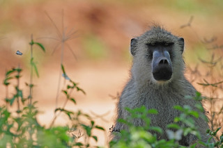 Backlit Yellow Baboon - 6284b+