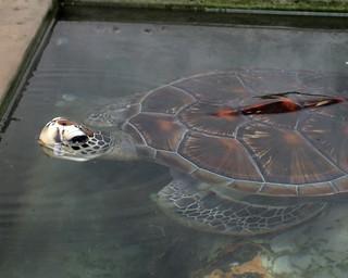Turtle (IMG_2513b)