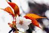 Flower blossom (Christian Chene Tahiti) Tags: japon kyoto cherry blossom canon 7d nature flore fleur macro travel voyage color couleur feuille floredujapon fleurdujapon flower flores pollen pink rose leave vert jaune plante extérieur arbre pastel fleurdecerisier