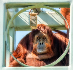 OrangutanStare (hillels) Tags: nationalzoo zoo washington dc washingtondc fonz