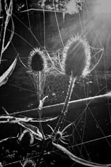 Morning light (JulieK (thanks for 5 million views)) Tags: bw iphonese garden gate teasel seedhead flower light web cobweb spider hww happywebnesday bokeh 117picturesin2017 postprocessed blackandwhite