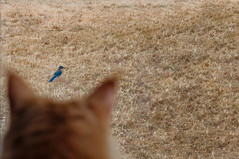 Sightline (Jason _Ogden) Tags: flickrfriday drygrass blue westernscrubjay mainecoon sightline passeriformes corvidae bird aphelocomacalifornica cat fur grass orange indulgentpleasures