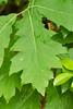 Quercus rubra (Red oak) (KeithABradley) Tags: dicots fagaceae quercusrubra redoak native tree