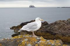 a Scottish seagull (quietpurplehaze07) Tags: smileonsaturday featheredfriends seagull scotland sea