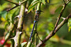 Migrant Hawker (Hugobian) Tags: odonata dragonfly dragonflies insect nature animal wildlife fauna paxton pits reserve pentax j1 migrant hawker
