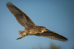 Young BlackCrowned Night Heron (DonMiller_ToGo) Tags: wildlife venicerookery nature bif birds outdoors birdwatching nightheron d810 rookery florida