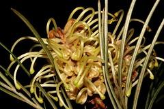 Grevillea Hodgei (andreas lambrianides) Tags: grevilleahodgei proteaceae australianflora australiannativeplants grevillea seq australianwildflowers wildflowers