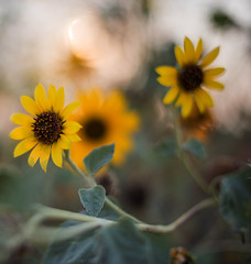 Flower at Yolo (Middle aged Nikonite) Tags: flowers color bokeh yolo bypass california nature landscape outdoor closeup nikon d750 macro flower sunflower plant beauty macrodreams