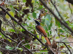 Kakadu bird in forest, to id