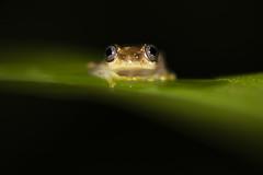 Tree Frog (Daniel Trim) Tags: nature animals animal wildlife adasibe mantadia night tree frog amphibian madagascar africa