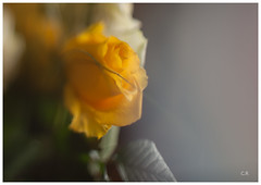 Ten years (Penna_bianca) Tags: nature flower springtime plant yellow backgrounds leaf summer beautyinnature petal freshness singleflower flowerhead closeup greencolor colorimage blossom nopeople sunlight vibrantcolor
