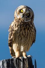 Short-Eared owl 'Pueo' - Asio flammeus sandwichensis (seb-artz) Tags: pueo asio flammeus sandwichensis owl bird animal animals cute hawaii endemic wild wildlife travel trip nikon d500 200500