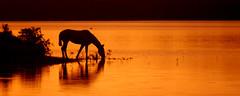Sombras do entardecer (Eduardo Amorim) Tags: cavalos caballos horses chevaux cavalli pferde caballo horse cheval cavallo pferd crioulo criollo crioulos criollos cavalocrioulo cavaloscrioulos caballocriollo caballoscriollos pampa campanha pelotas costadoce riograndedosul brésil brasil sudamérica südamerika suramérica américadosul southamerica amériquedusud americameridionale américadelsur americadelsud cavalo 馬 حصان 马 лошадь ঘোড়া 말 סוס ม้า häst hest hevonen άλογο brazil eduardoamorim pôrdosol poente entardecer poniente atardecer sunset tramonto sonnenuntergang coucherdesoleil crepúsculo anoitecer açude barrage dam damm aguada diga