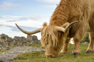 Highland Cattle on Beacon Hill