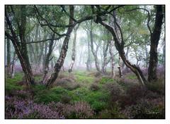 Stanton Mist 8 (shaunyoung365) Tags: stanton moor trees tree mist heather peakdistrict landscape sonya7rii