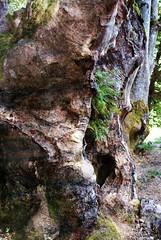 Allée des Géants | Allier - Auvergne (Elisabeth de Ru) Tags: france frankrijk allier auvergne geotagged elisabethmartijnstourdefrance2017 bomen trees forrest bos oerbos chemindessorcières labletterie plantationsdehêtres ©elisabethderu