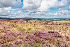 Dartmoor at heather time (Keith in Exeter) Tags: dartmoor moorland nationalpark devon england heather blooming flower grass moor landscape hill outdoor