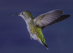 Colorful Flyer (Bill Gracey 16 Million Views) Tags: bif birdinflight paintedbackdrop offcameraflash yongnuo yongnuorf603n set nature naturalbeauty color colorful hummingbirdphotography bareflash poway thehummingbirdguidecalypteanna annashummingbird bird hummingbird hummer manualmode calypteanna