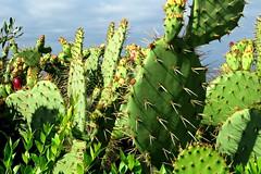 Watch your nose, Benni Girl! (Bennilover) Tags: cactus cacti cactusgarden california bluff beach thorns pricklypear nose stickers dog dogs benni good idea