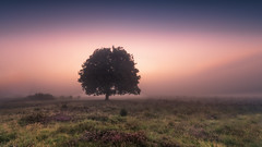 Bussum - lonely tree in the morning mist (Toon E) Tags: 2017 holland netherlands nederland bussum hilversum heather heide tree sun clouds sunrise light outdoor sony a7rii sonyfe1635mmf4